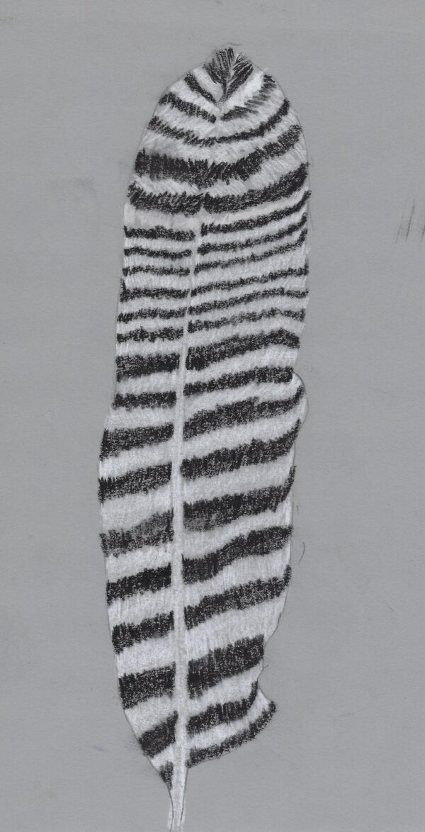 A black and white pastel drawing of a feather on a grey background.